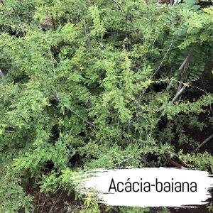 acacia-baiana