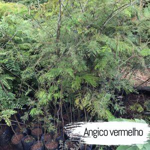 angico-vermelho