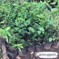 amora-gigante-300x300