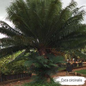 cyca circinalis